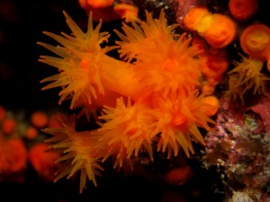 Orange Coral (Astroides calycularis)