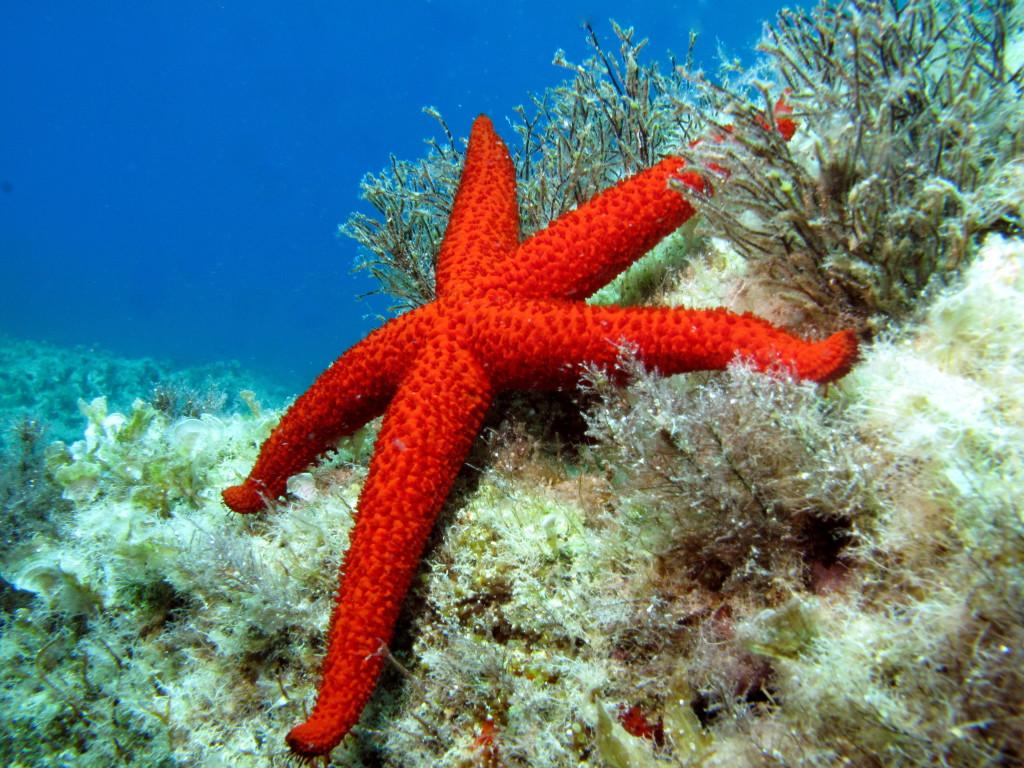 echinaster-sepositus-mediterranean-red-sea-star