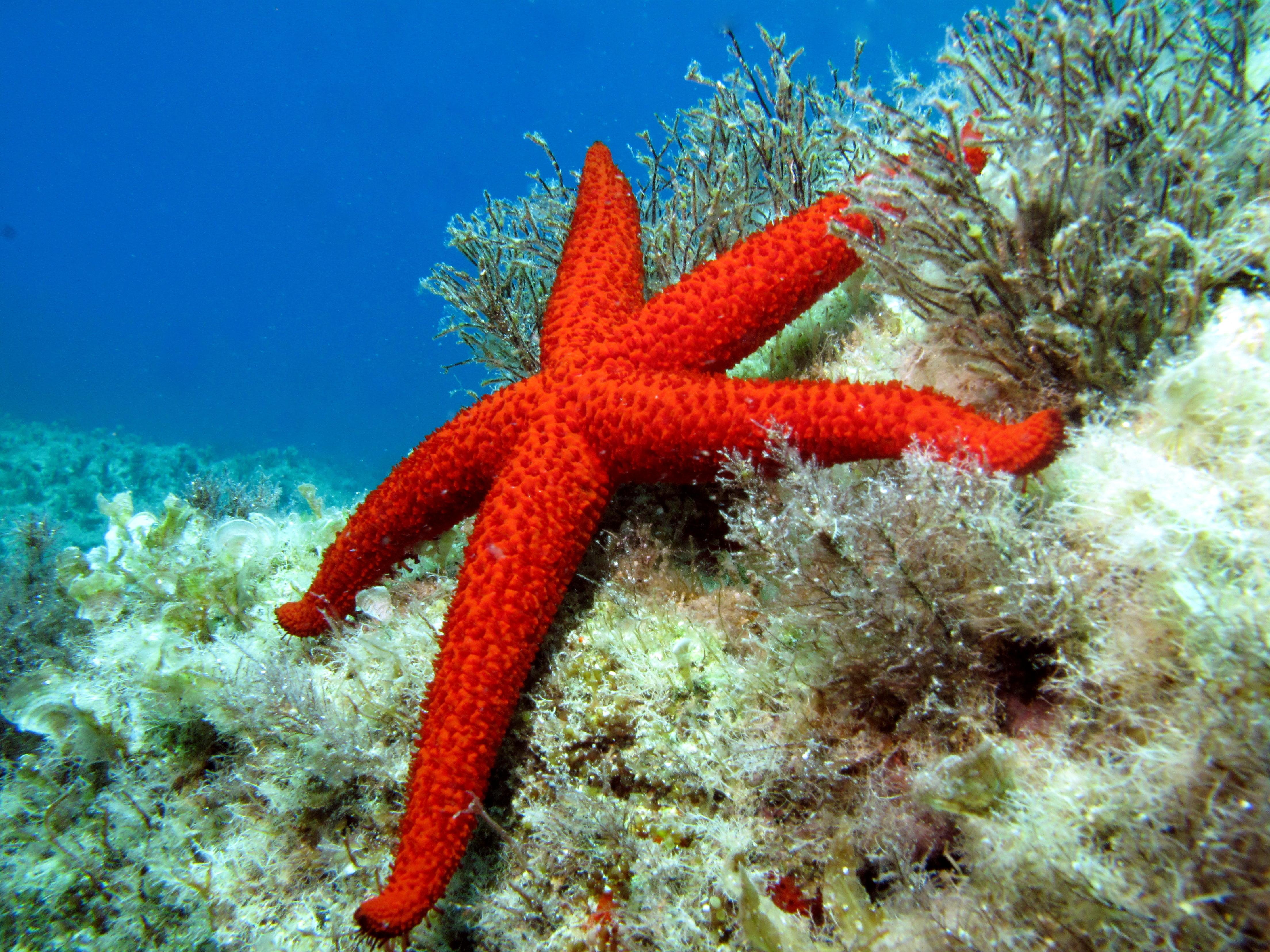 echinaster sepositus mediterranean red sea star atlantis gozo