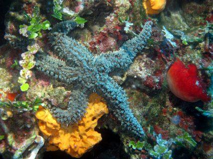 Hawrija Starfish