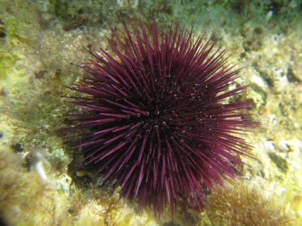 Urchin Hondoq