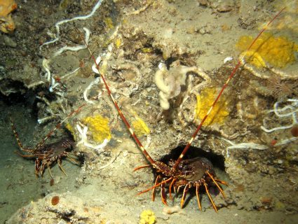 Hekka Point lobster creatures