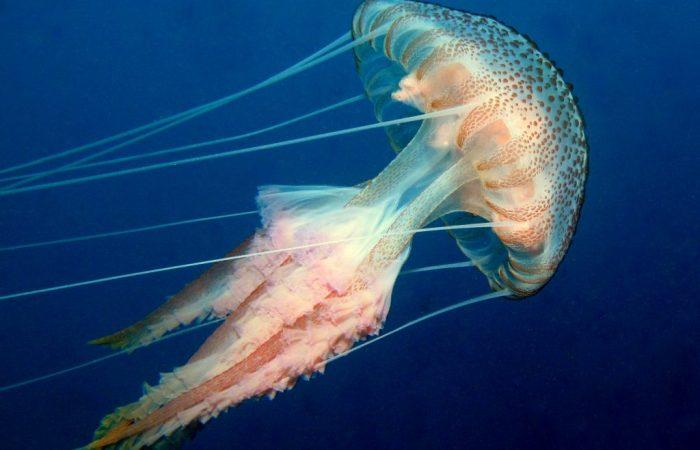 Pelagia Noctiluca Purple Striped Jellyfish Atlantis Gozo