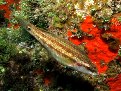 Ta Pawla Diving Fish