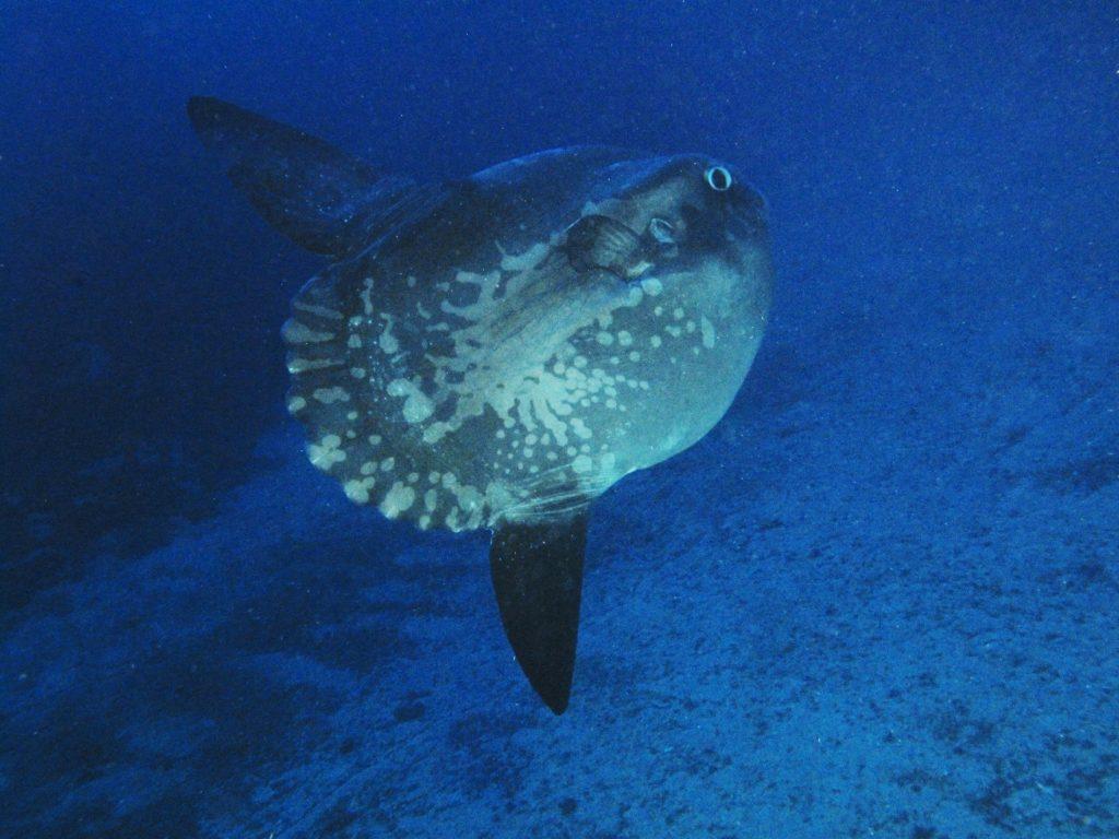 Mola Mola Sunfish Atlantis Gozo