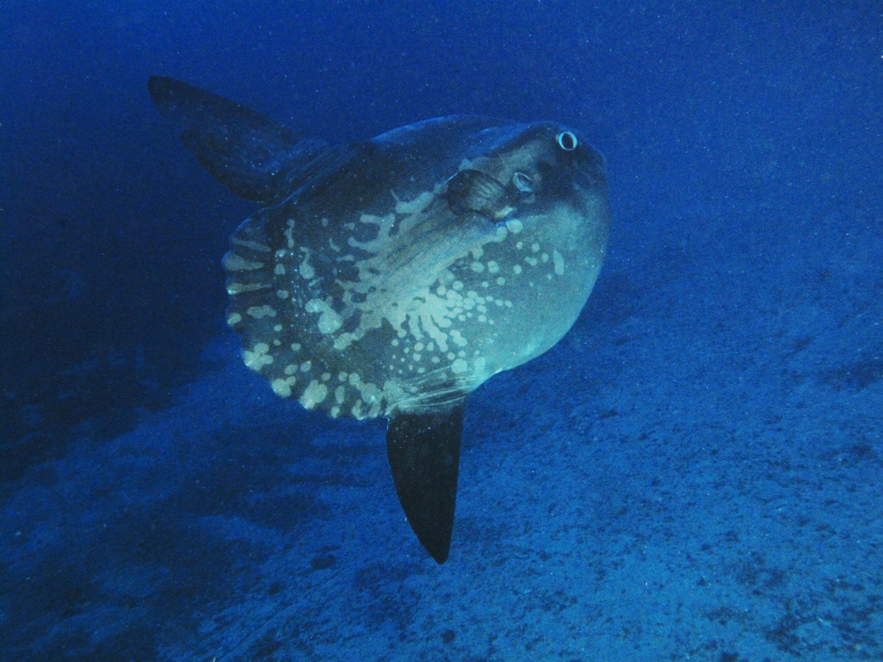 Mola mola sunfish atlantis gozo for Mola mola fish