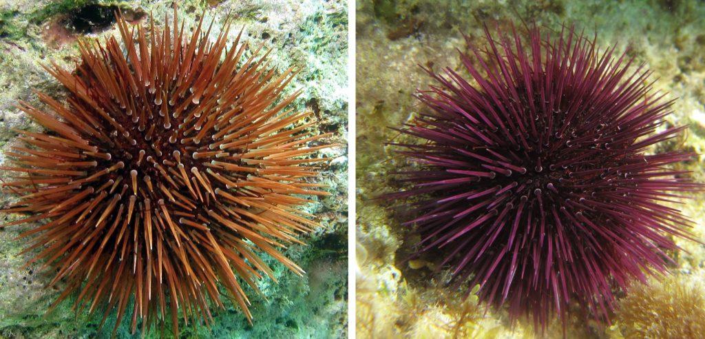 Paracentrotus Lividus Purple Sea Urchin Atlantis Gozo