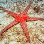 Astropecten aranciacus (Red Comb Starfish)