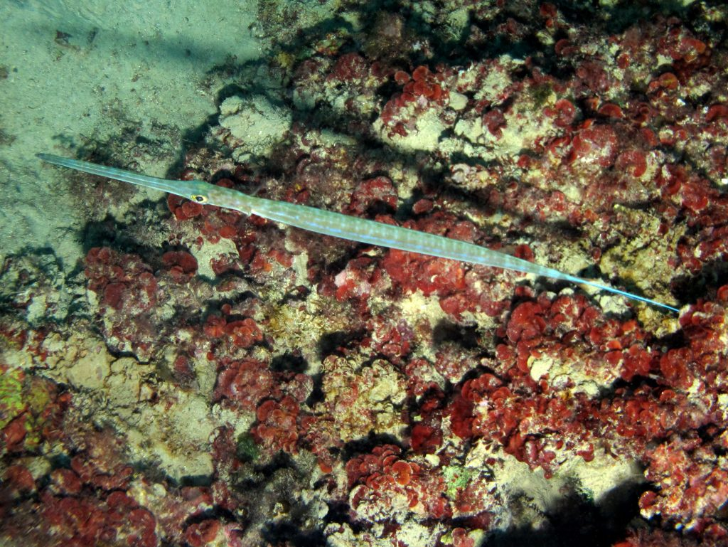 Bluespotted Cornetfish (Fistularia commersonii) - Atlantis ...
