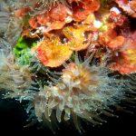 Mediterranean Stony Corals
