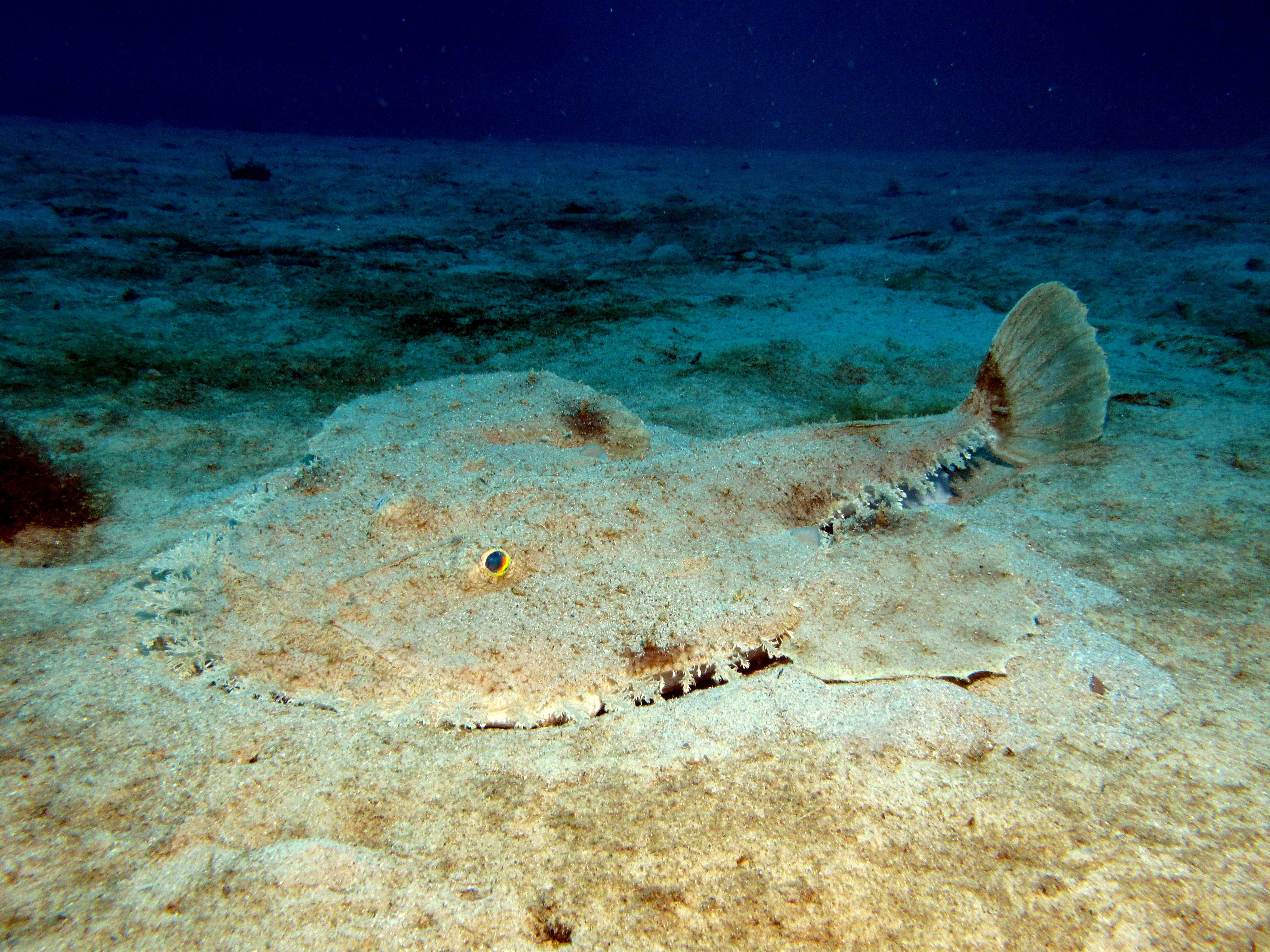 Anglerfish 8